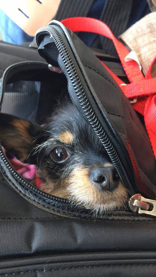Tiny dog travels